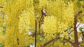 Golden shower tree in summer. Background stock footage
