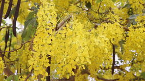 Golden shower tree in summer. Background stock video