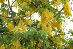 Golden shower tree in thailand Stock Photography