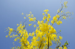 Golden Shower Tree Royalty Free Stock Photo
