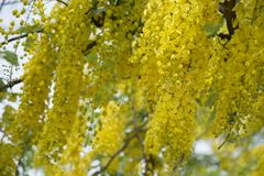 Golden Shower TreeCassia fistula is beauty yellow flower  in summer. A group of Golden Shower TreeCassia fistula are take photo in Khon Kaen, Thailand at summer stock photos