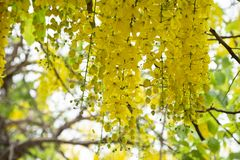 Golden Shower TreeCassia fistula is beauty yellow flower  in summer. A group of Golden Shower TreeCassia fistula are take photo in Khon Kaen, Thailand at summer stock images