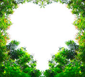 Golden shower trees in heart shape Royalty Free Stock Photo