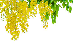 Golden shower on white background Stock Image