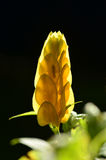 Golden Shrimp Plant Stock Photos