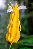 Golden shrimp plant Stock Images
