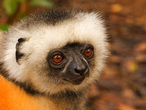 Golden Sifaka Lemur, Madagascar. This beautiful Lemur was photographed in Madagascar. The are severely endangered as they do not fear humans and are often sold Stock Photos