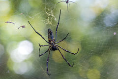 Golden silk orb spider royalty free stock photos