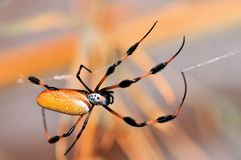 Golden Silk Orb-weaver, Banana Spider Stock Photography