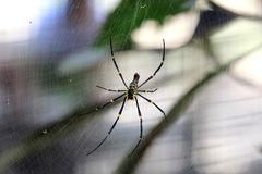Golden silk orb-weaver in Cairns, Australia. 