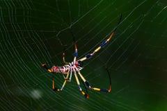 Golden Silk Orb Weaver Spider Royalty Free Stock Photo