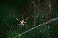 Golden Silk Orb Weaver Spider Stock Photos