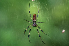 Golden silk orb-weaver (genus Nephila) spinning web Stock Photo