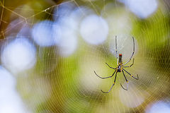 Golden silk orb-weaver Royalty Free Stock Photography