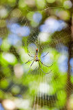 Golden silk orb-weaver Stock Photography