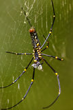 Golden silk orb-weaver Royalty Free Stock Images