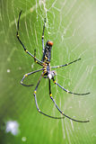 Golden silk orb-weaver Royalty Free Stock Image