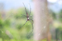 Golden silk orb-weaver Royalty Free Stock Photo