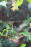 Golden silk orb-weaver Stock Images