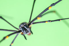 The golden silk orb-weaver Royalty Free Stock Photography