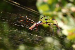 Golden Silk Orb-weaver (Nephila clavipes) Stock Photos