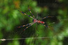 Golden Silk Orb-weaver (Nephila clavipes) Stock Photo