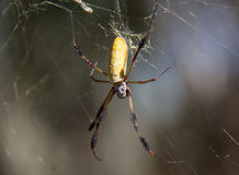 Golden Silk Orb-Weaver (Nephila clavipes) Royalty Free Stock Images