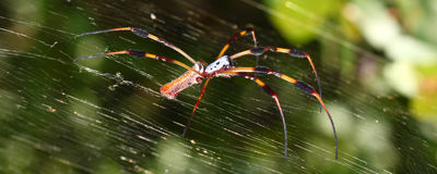 Golden Silk Orb-weaver (Nephila clavipes) Stock Photography