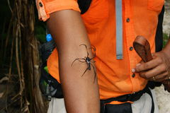 Golden silk orb-weaver (Nephila inaurata) on an arm. Stock Images