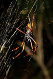 Golden silk orb-weaver, nephila on net Madagascar Stock Photography