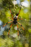 Golden silk orb-weaver on net Stock Image