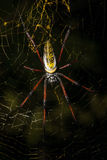 Golden silk orb-weaver on net Madagascar wildlife Stock Photo