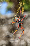 Golden silk orb-weaver on net Madagascar wildlife Stock Photos