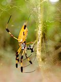 Banana Spider on web in forest. A golden silk orb weaver spider aka banana spider on its web in the forest in south east Texas royalty free stock photo