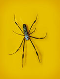 A Golden Silk Orb Weaver Spider Stock Photography