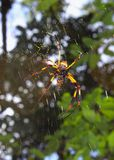 Golden silk orb weaver spider Stock Photo