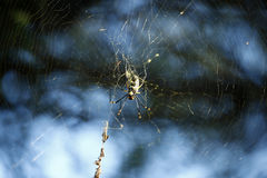 Golden Silk Orb-Weaver Spider. Spidersweb spread across from bush to tree Stock Images