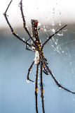 The golden silk orb-weaver Stock Photography