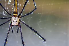 The golden silk orb-weaver Royalty Free Stock Photo