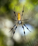 Golden silk orb-weavers (genus Nephila) Stock Photography