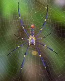 Golden SIlk Orb Weaving Spider waiting on her web Stock Images