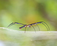 Golden SIlk Orb Weaving Spider waiting on her web Stock Image