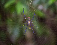 Golden SIlk Orb Weaving Spider waiting on her web Royalty Free Stock Photos