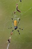 Golden Silk Orbweaver (Nephila clavipes). A female golden silk orbweaver, or banana spider (Nephila clavipes).  These are a common sight throughout the southeast Royalty Free Stock Photography