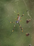 Golden Silk Orbweaver After Rain. Spider in web, background blurred Stock Photos