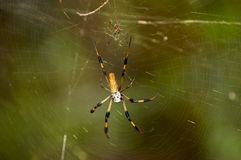 Golden-Silk Spider with Mate Royalty Free Stock Images