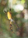 Golden-Silk Spider on It's Web Stock Photos