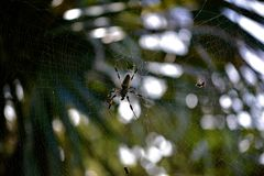 Golden Silk Spider in Web. Common orange and brown orb-weaver Golden Silk Spider with feathery tufts on legs in a web in South Florida, USA Stock Photos