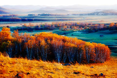 The golden silver birch on the grassland Stock Photography