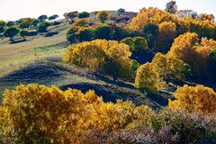 The golden silver birch on the hillside Royalty Free Stock Photography